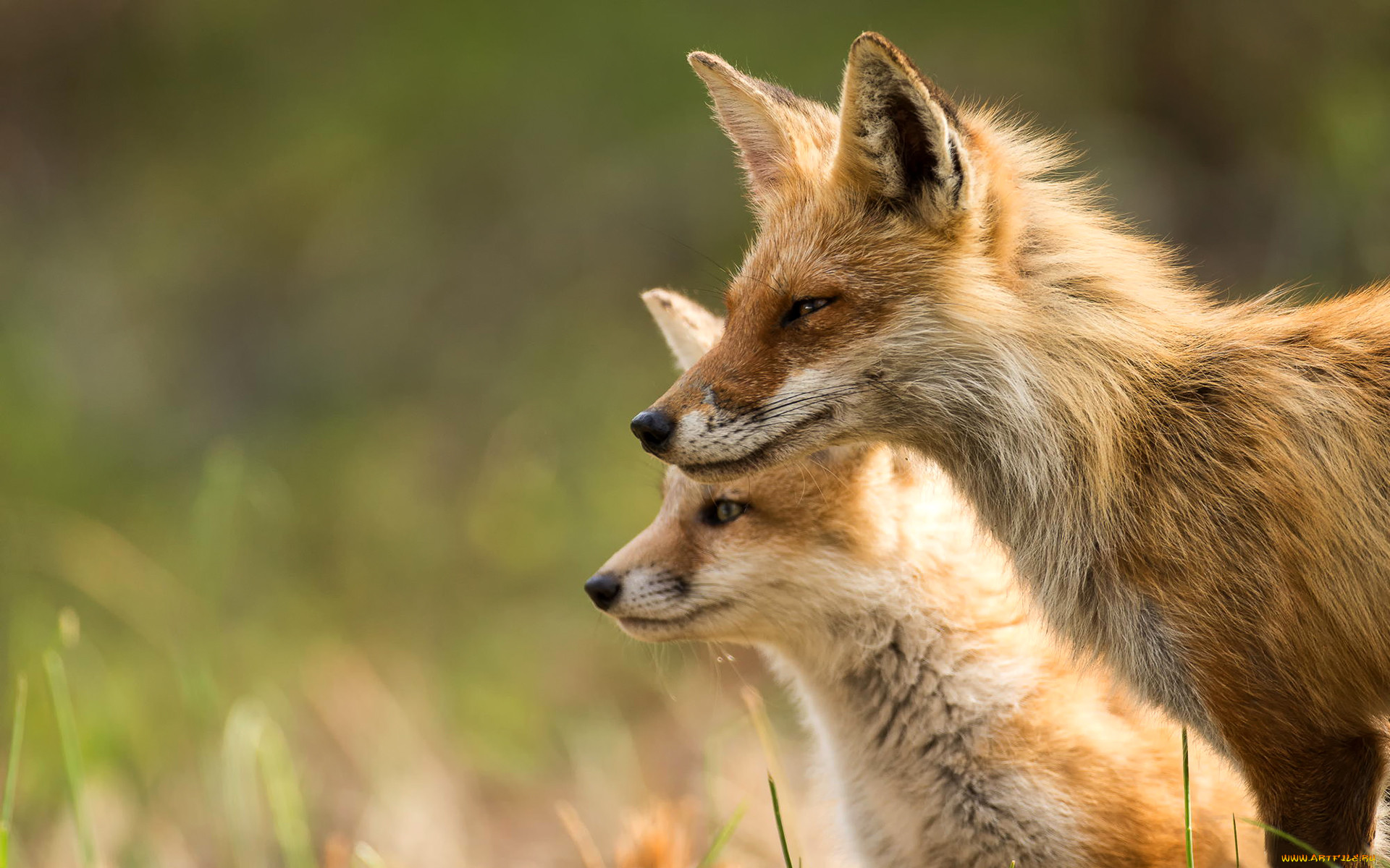 Обои лисёнок. Лисы foto 15